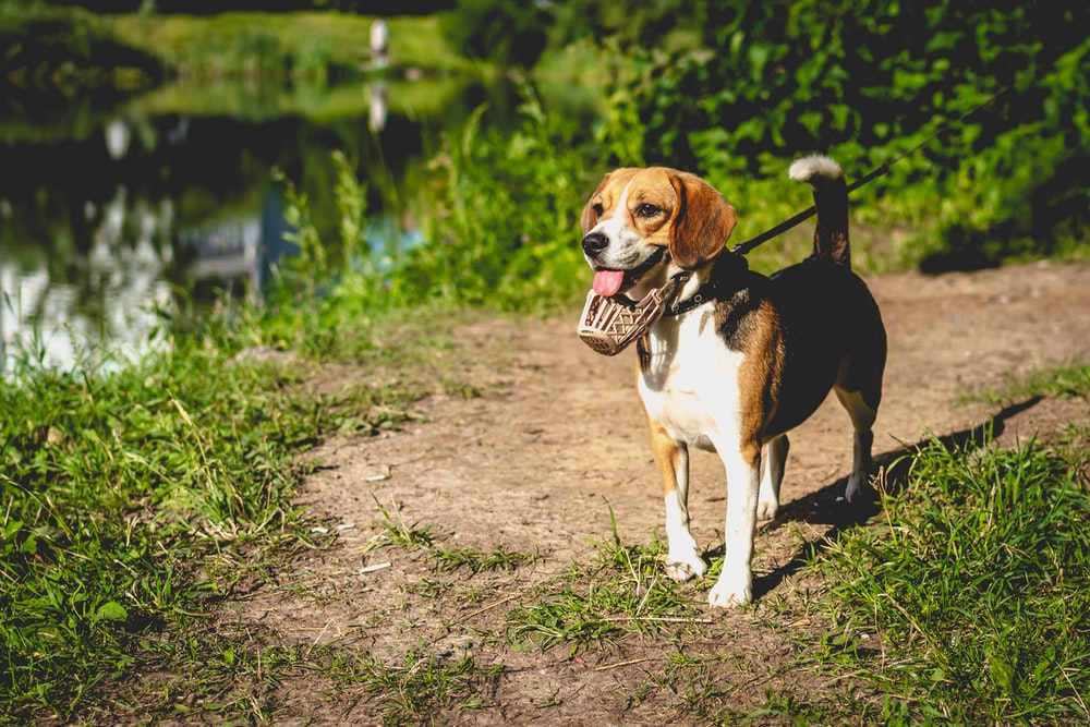 tricolor beagle on dirt ground during daytime