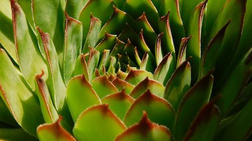 Aloe Argenticauda