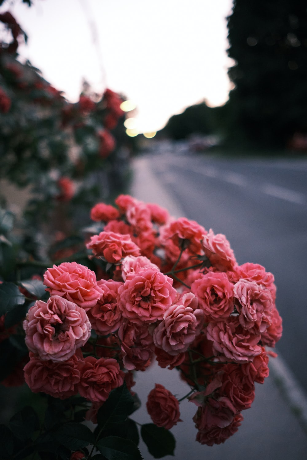 red roses in the middle of the road
