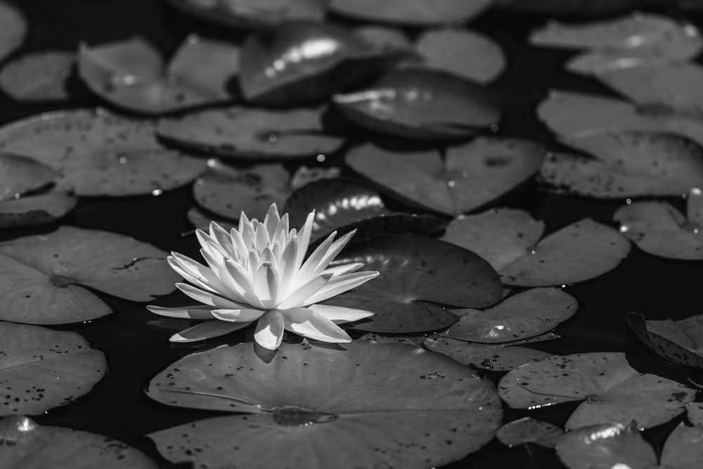 white water lily on water