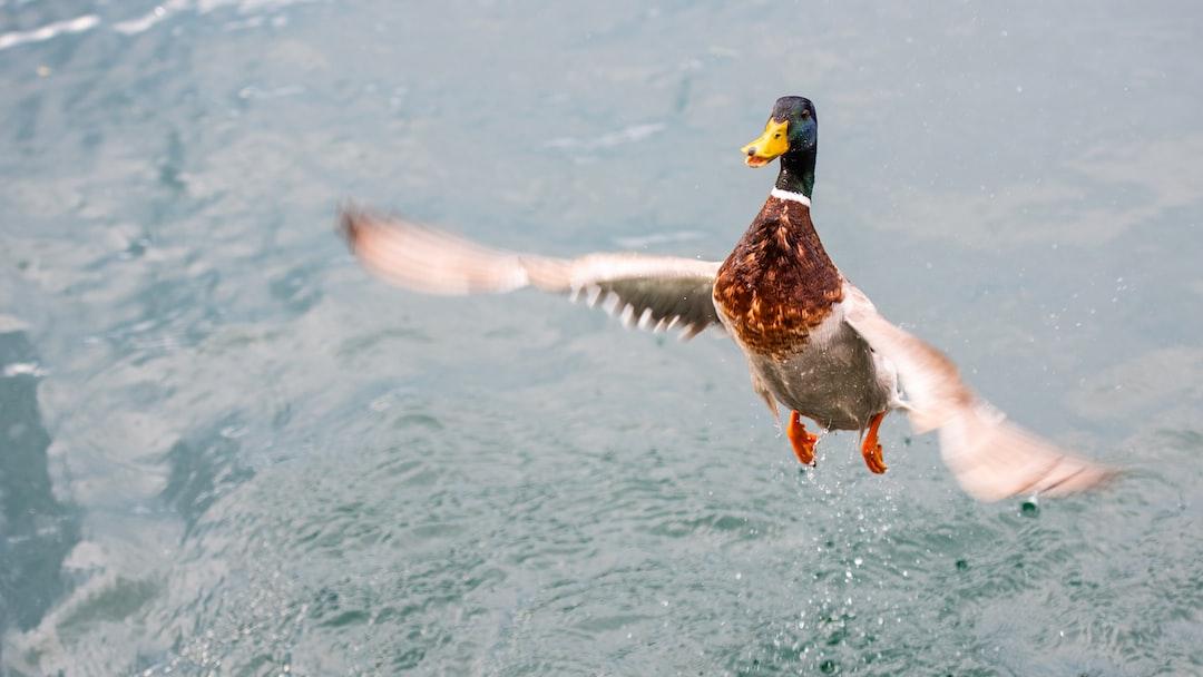 Lauching duck