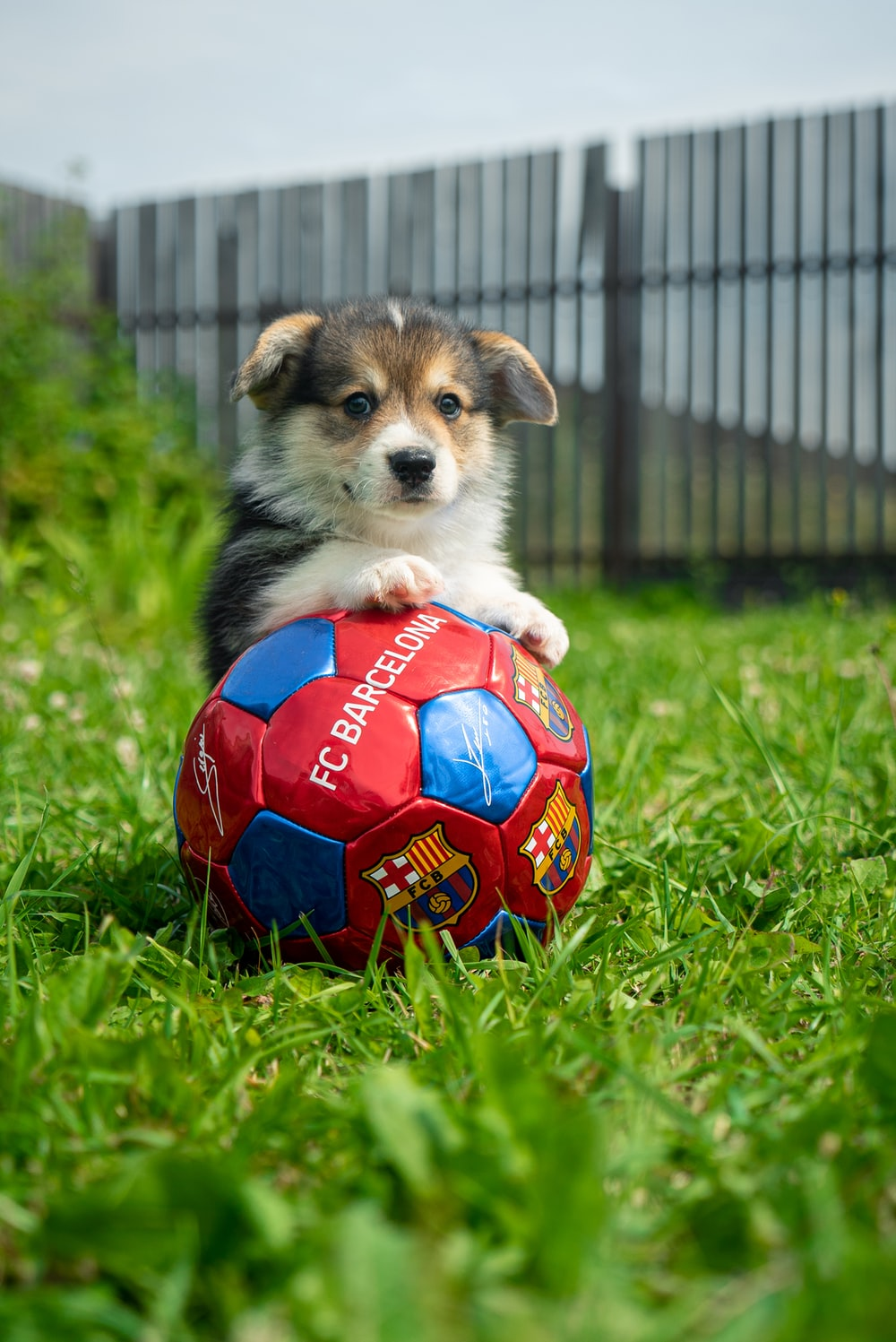 white and black puppy playing soccer ball on green grass field during daytime