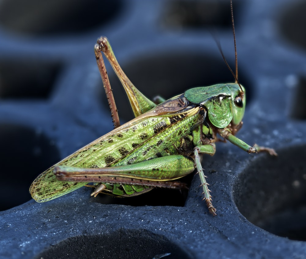 green grasshopper on black textile