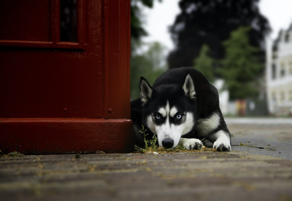 black and white siberian husky puppy on red wooden door during daytime