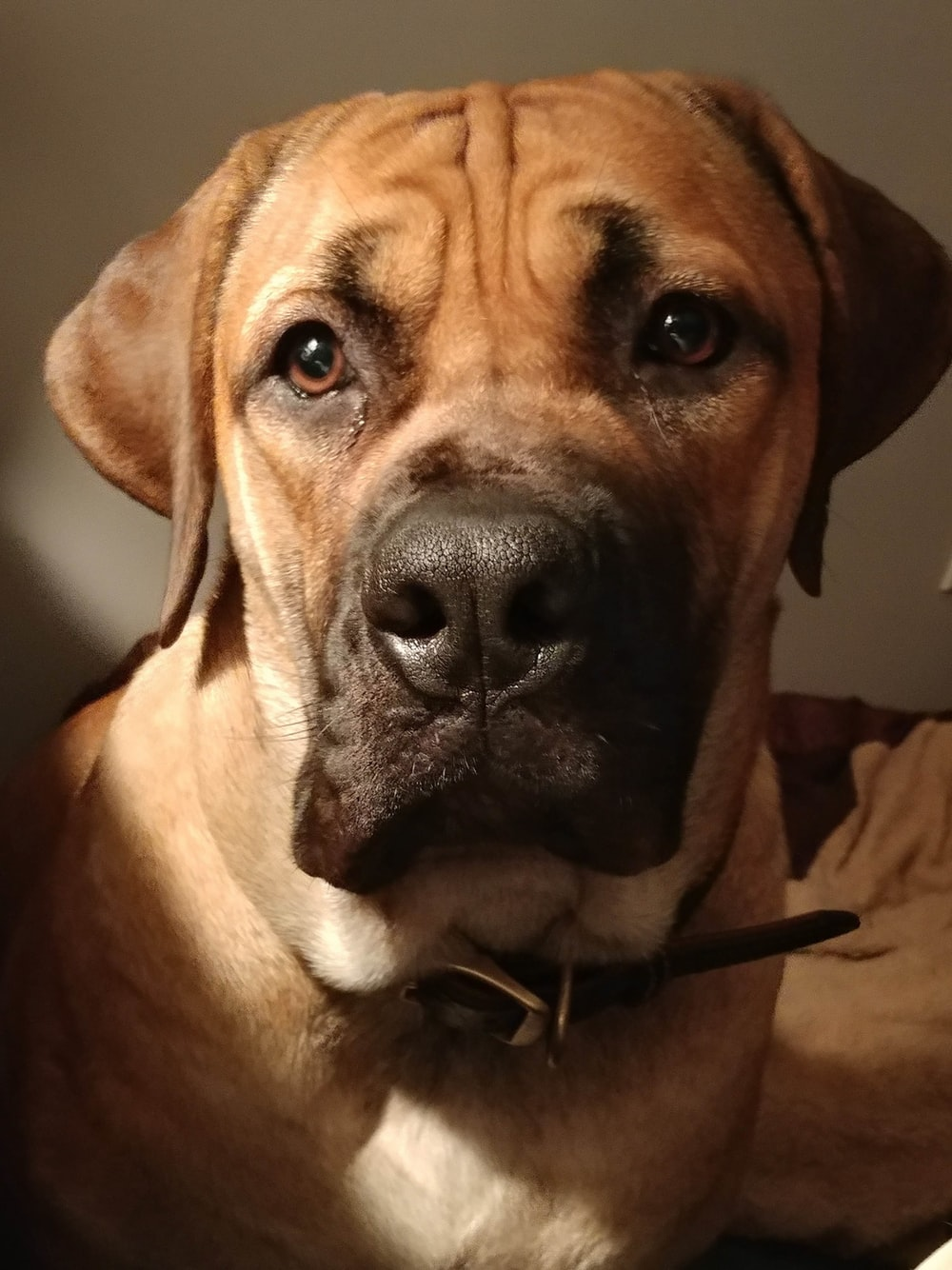 brown short coated dog with black collar