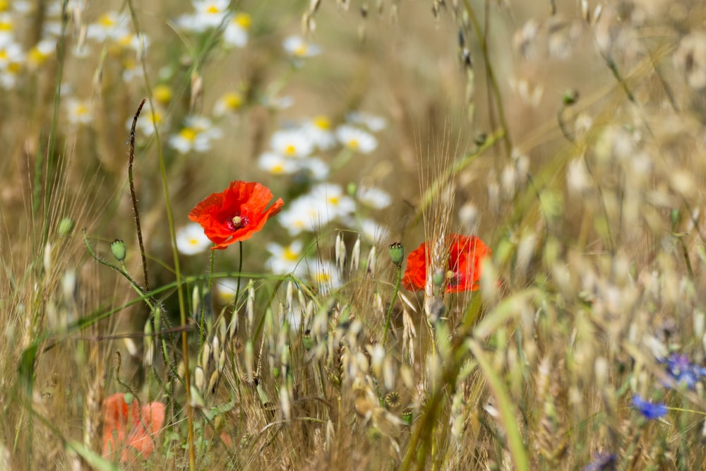 red flower in the field