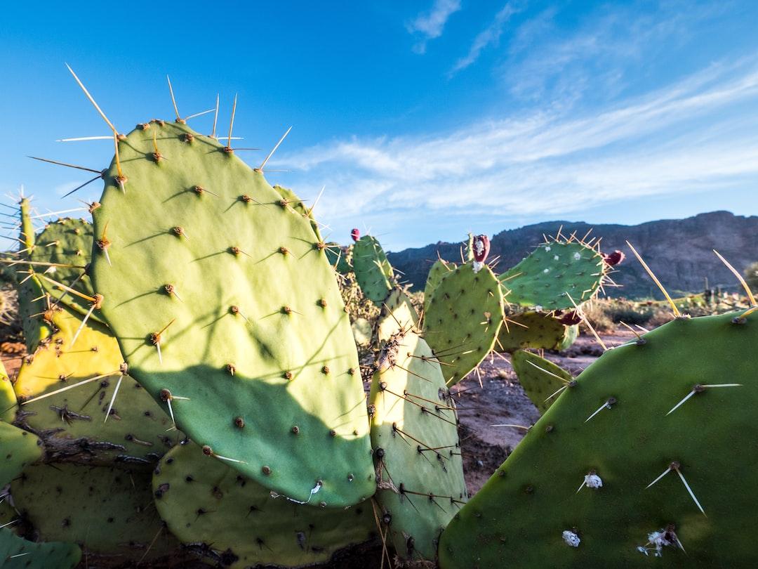 Cacti in Arizona.
