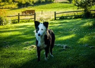 black and white border collie standing on green grass field during daytime