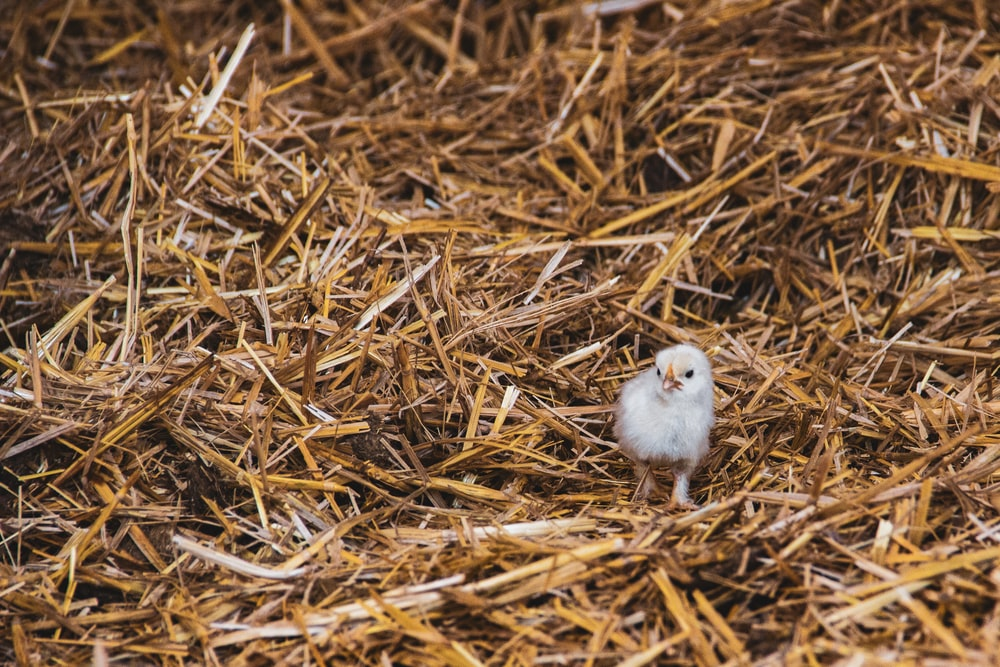 white chick on brown dried grass