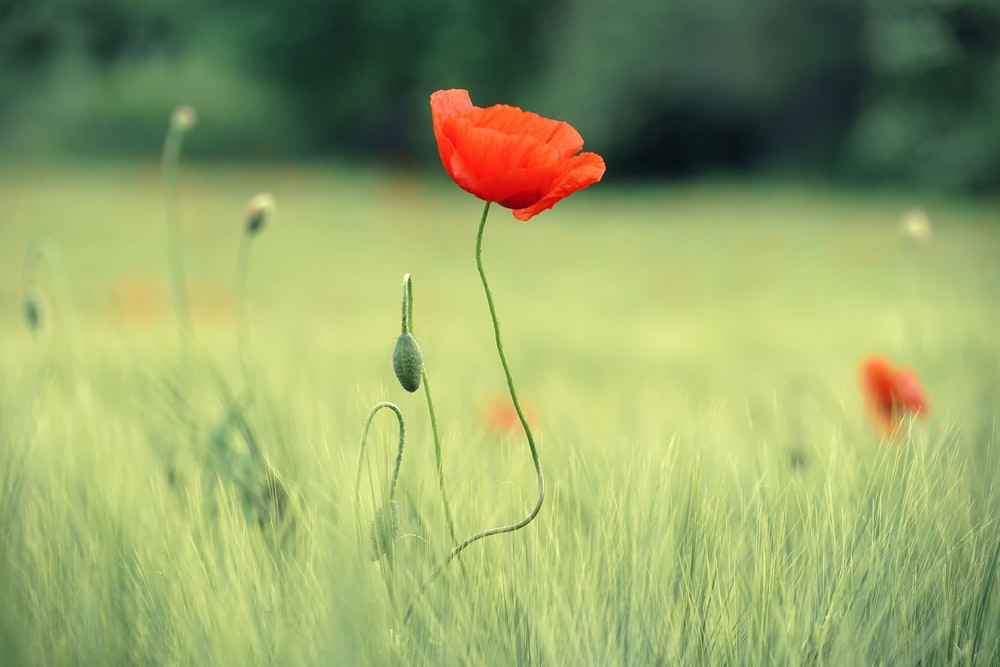red flower in green grass field during daytime