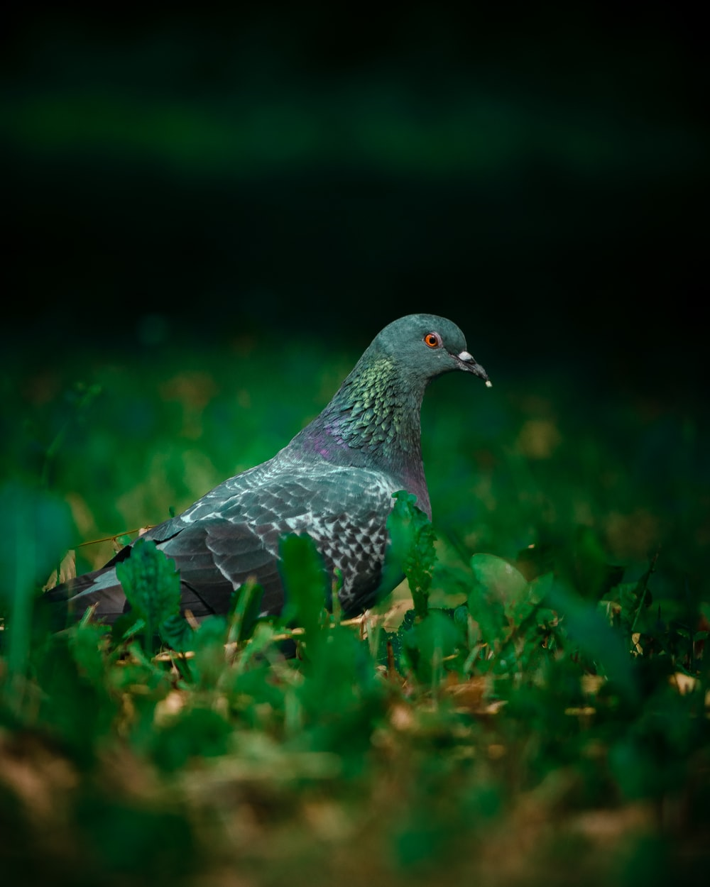 grey and black pigeon on green grass during daytime