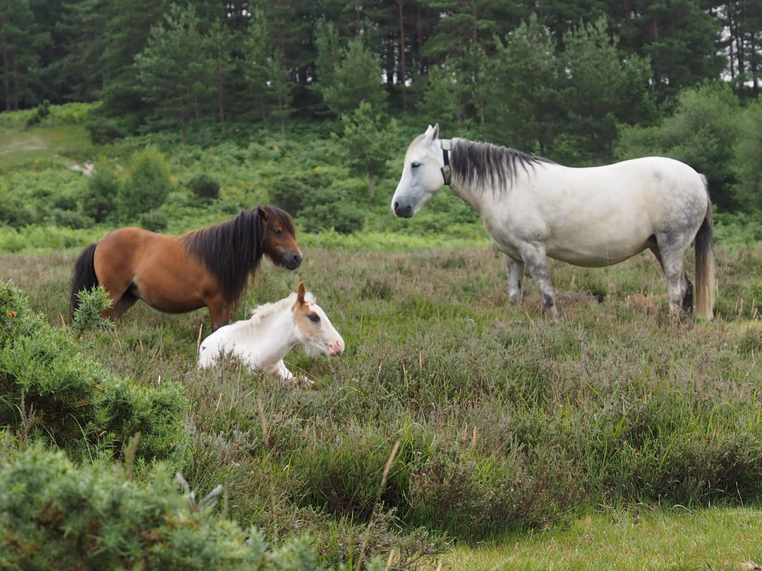 horses, pony, new forest, hampshire, uk, wild, loose, free, funny, ponies