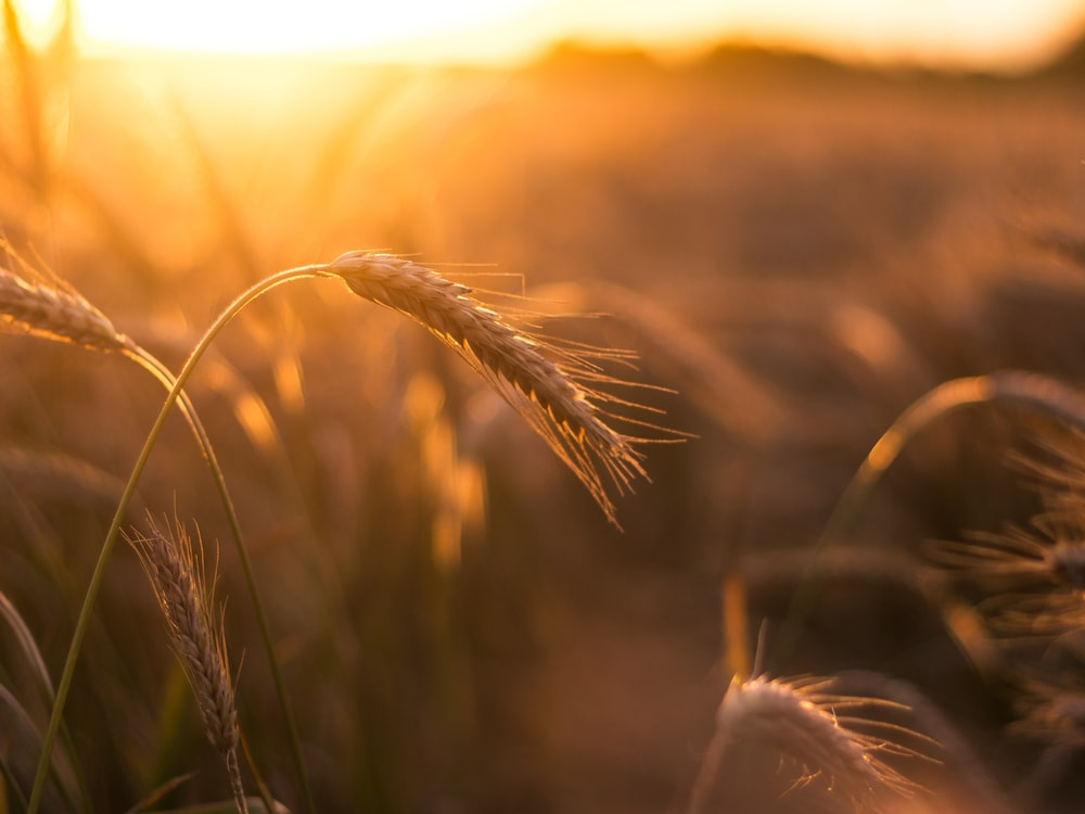 brown wheat in close up photography during sunset