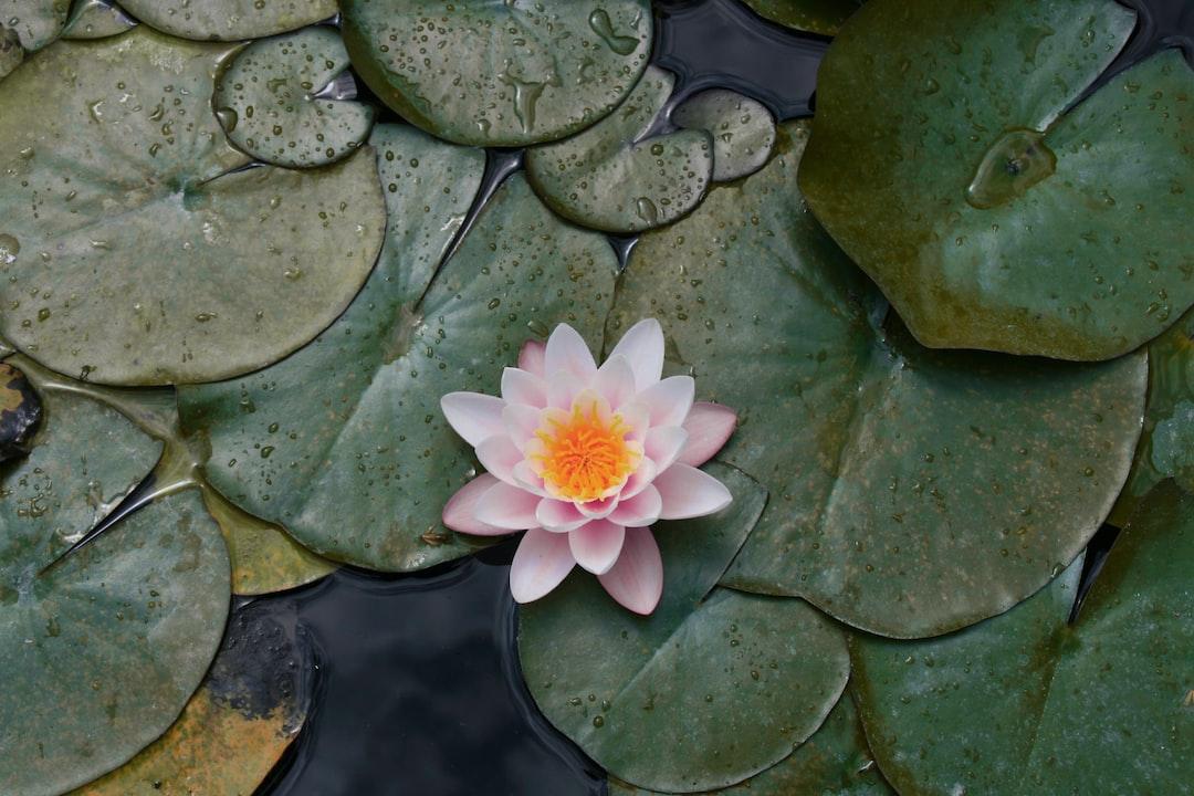 A water lily in the fountain of Villa Carlotta, Tremezzina, Lake Como, Italy