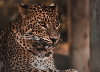 brown and black leopard on brown ground