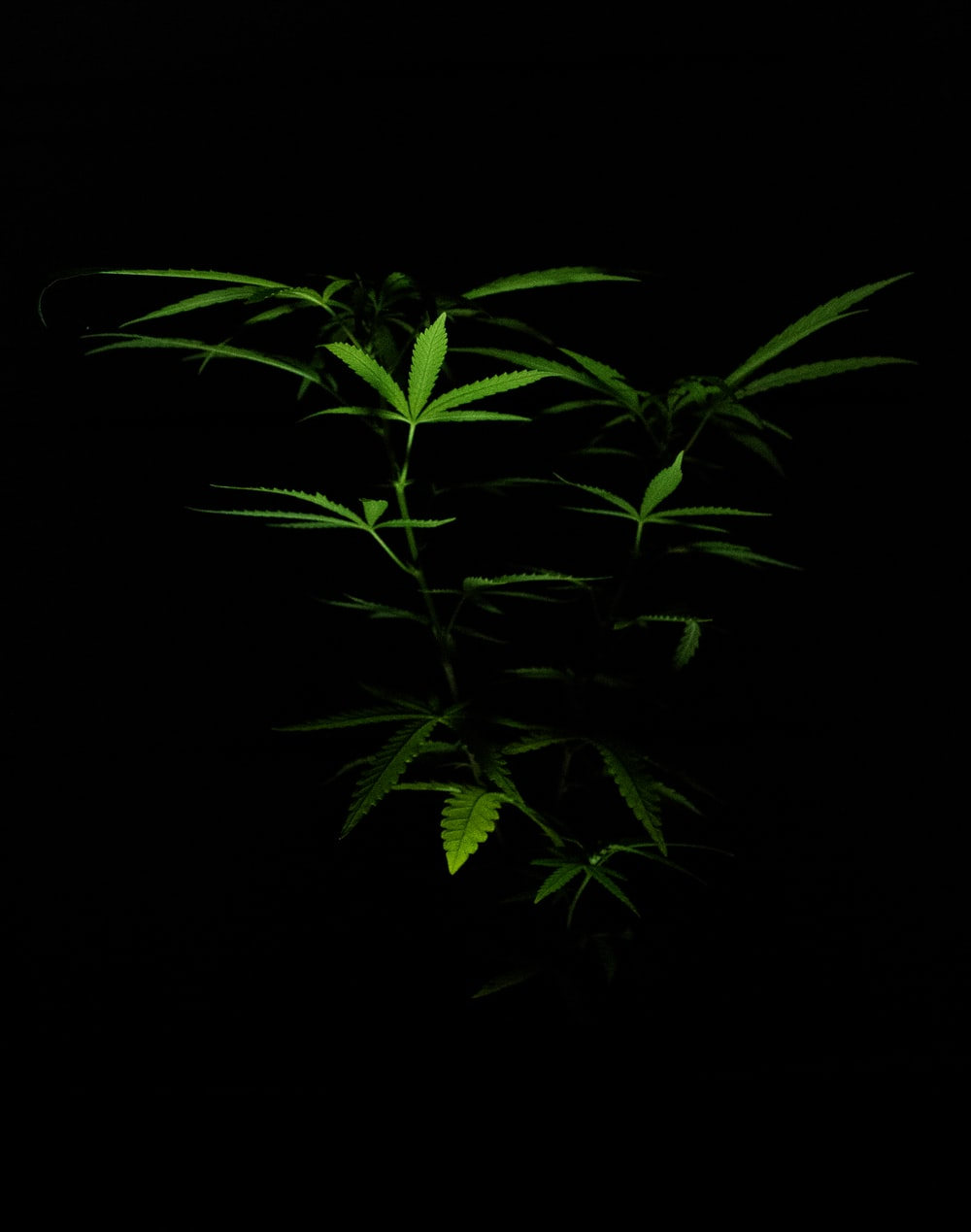 green plant in black background