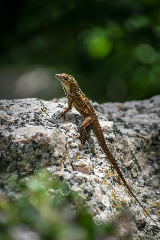 brown lizard on brown rock during daytime