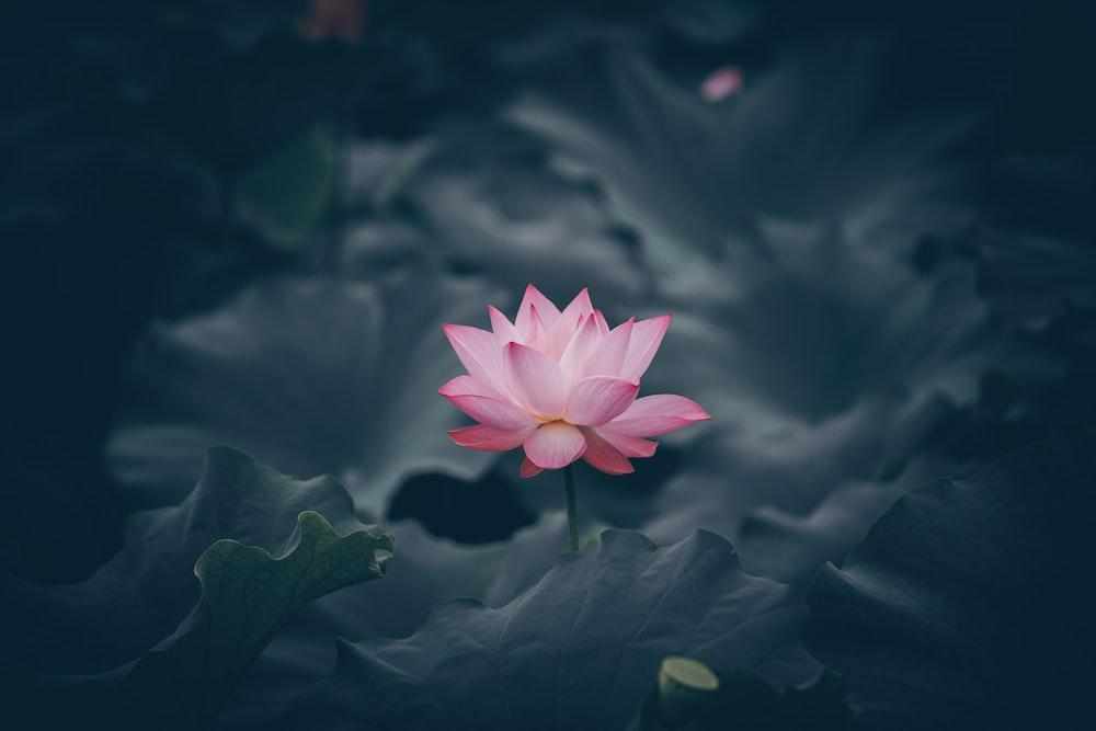 pink lotus flower in bloom