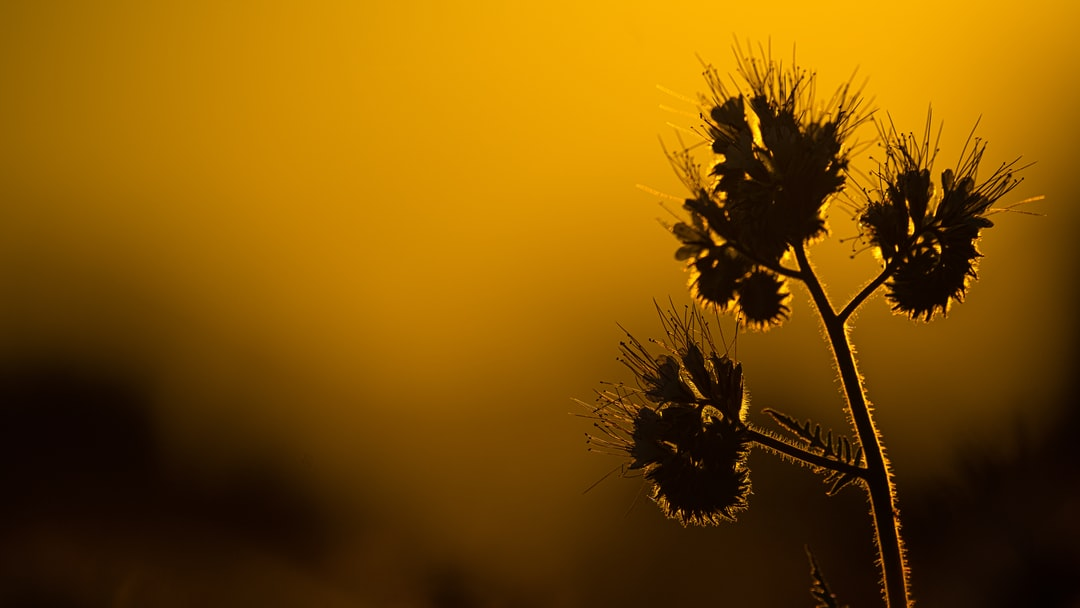 Flower silhouette in the sunset light