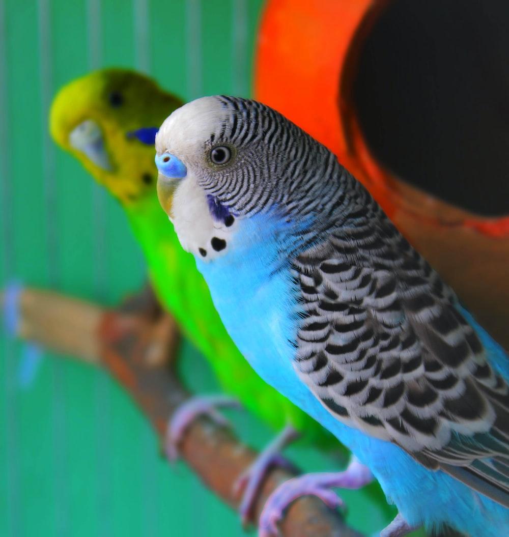 white yellow and blue bird