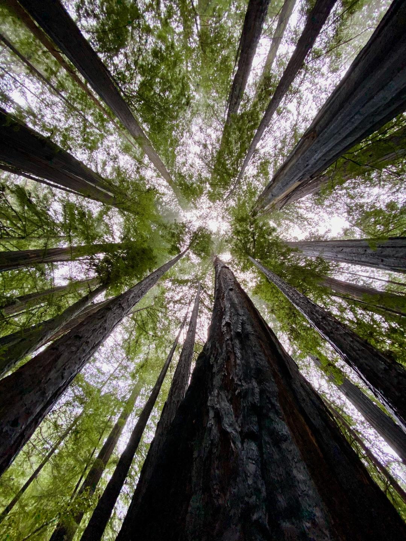 Redwoods at Big Basin Redwoods State Park