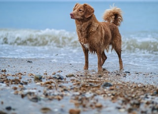 brown short coated dog on beach during daytime