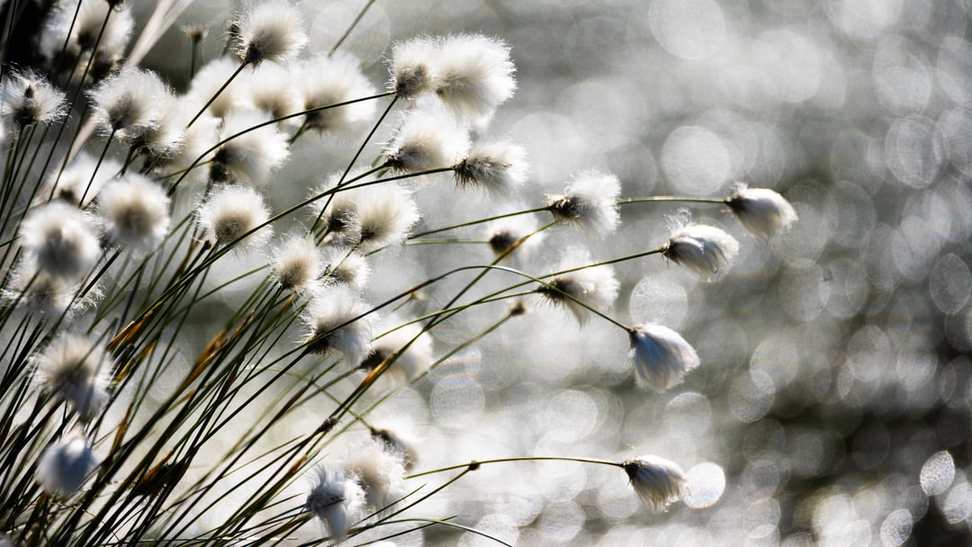 White wool grass with flares