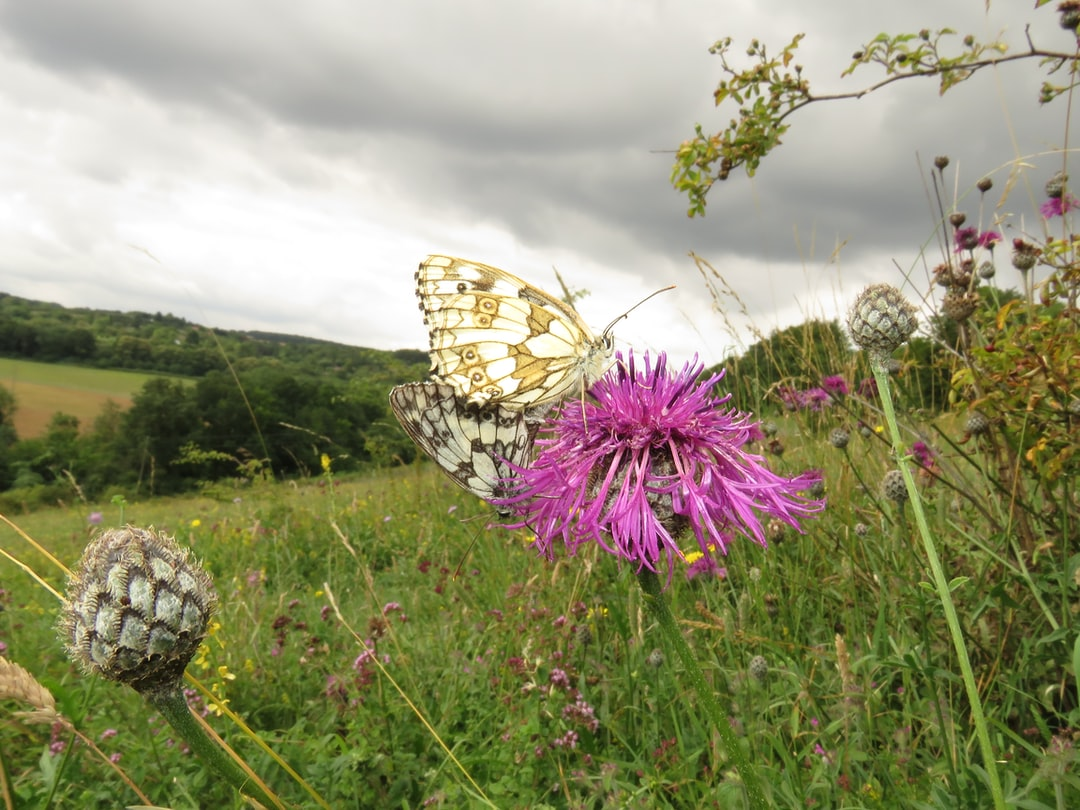 A pair of Marbled  White Butterflies