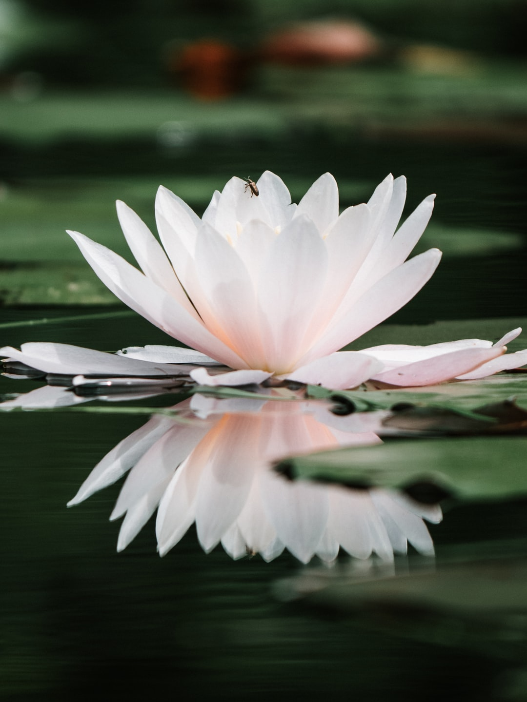 Symmetrical reflection of a small beetle resting on a pink water lily, surrounded by lily pads.