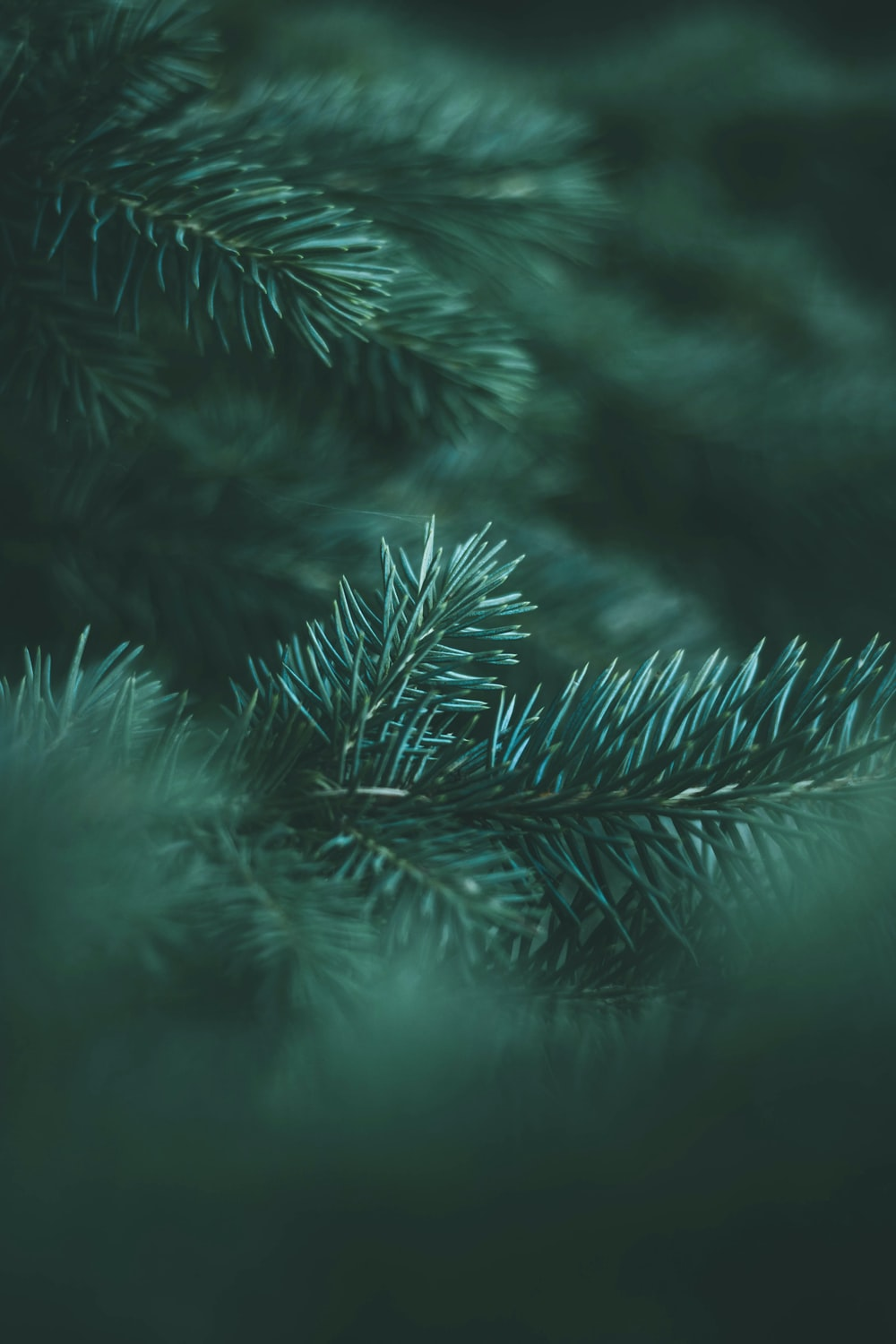 green pine tree leaves in close up photography