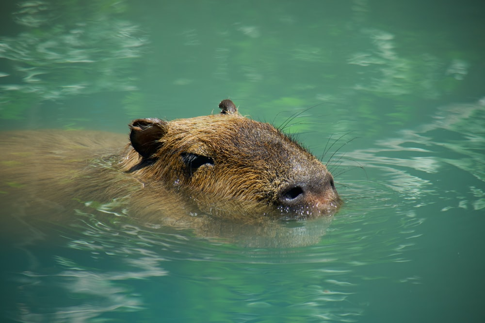 brown rodent on body of water during daytime