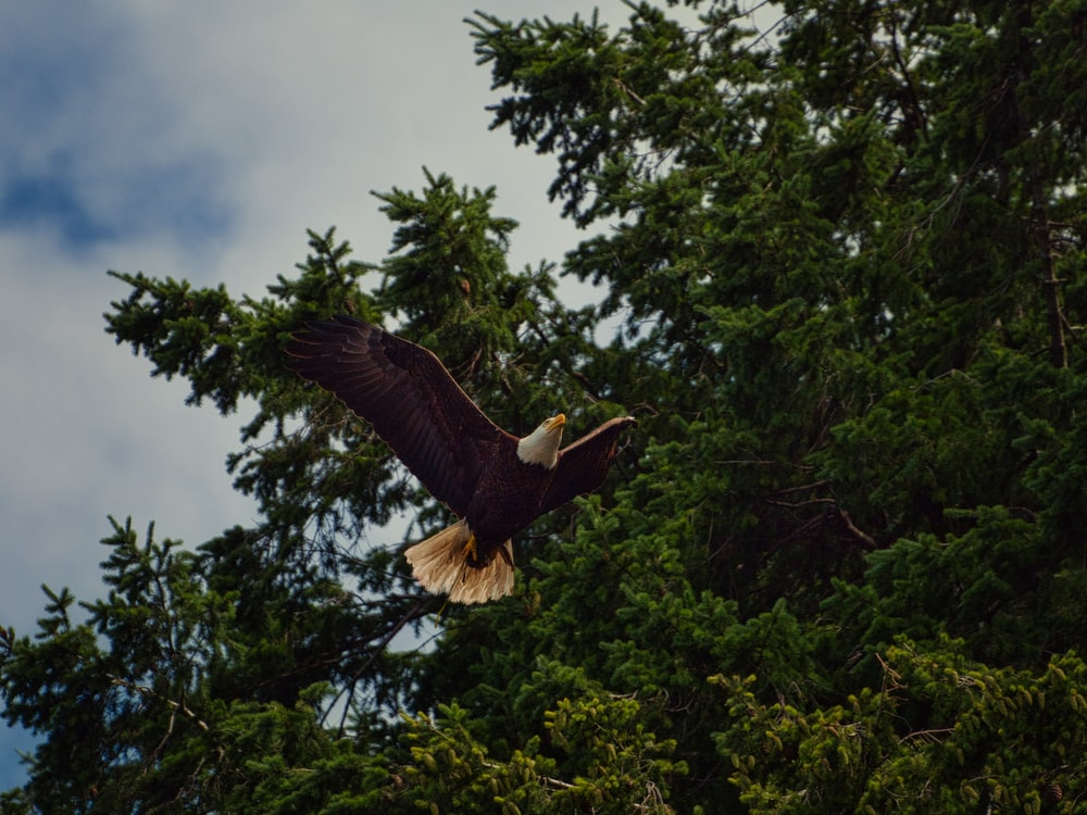 brown eagle flying over green trees during daytime