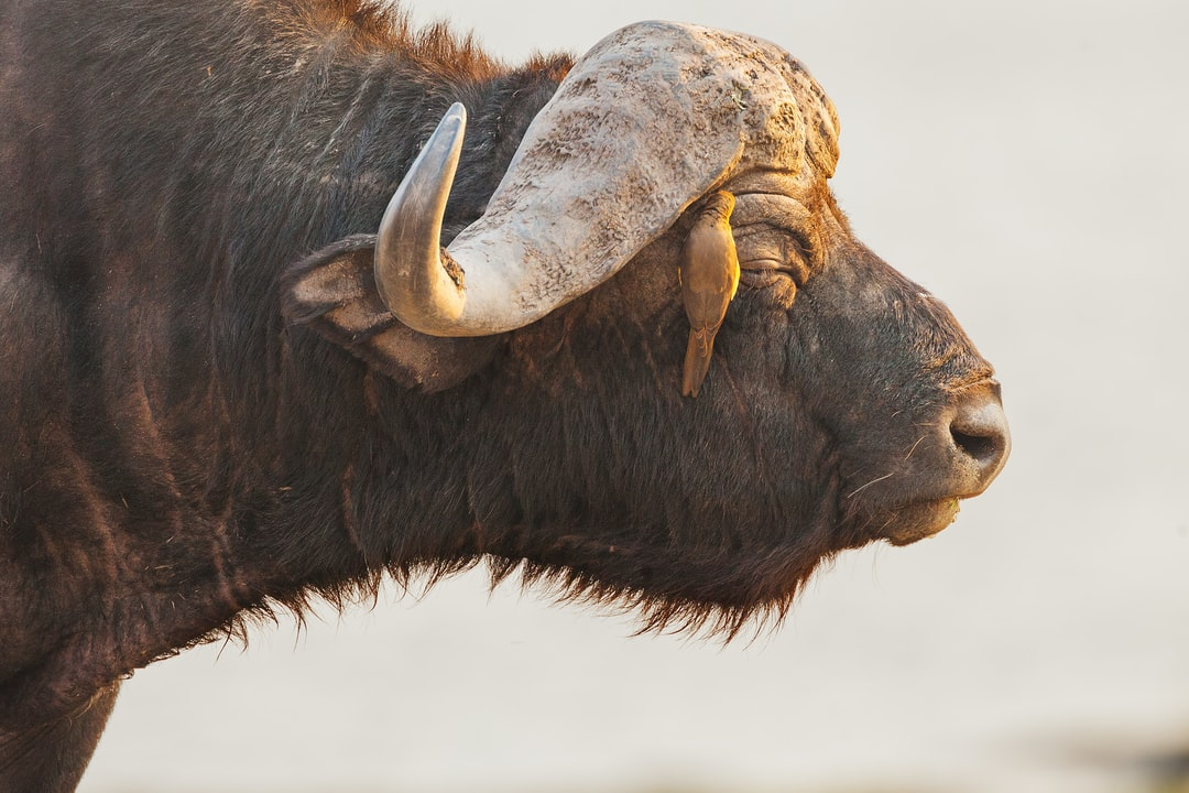 Portrait of a Cape Buffalo with an Oxpecker removing insects from its skin