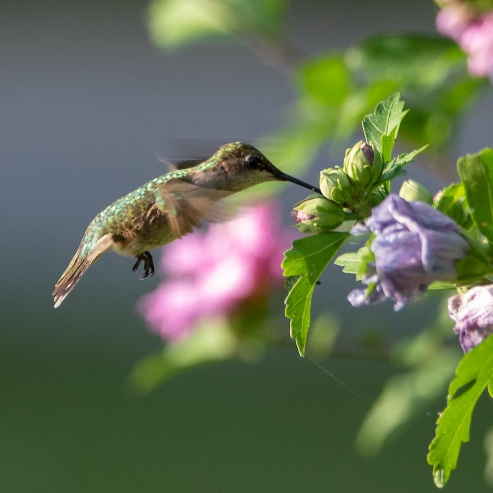 brown humming bird flying over purple flower