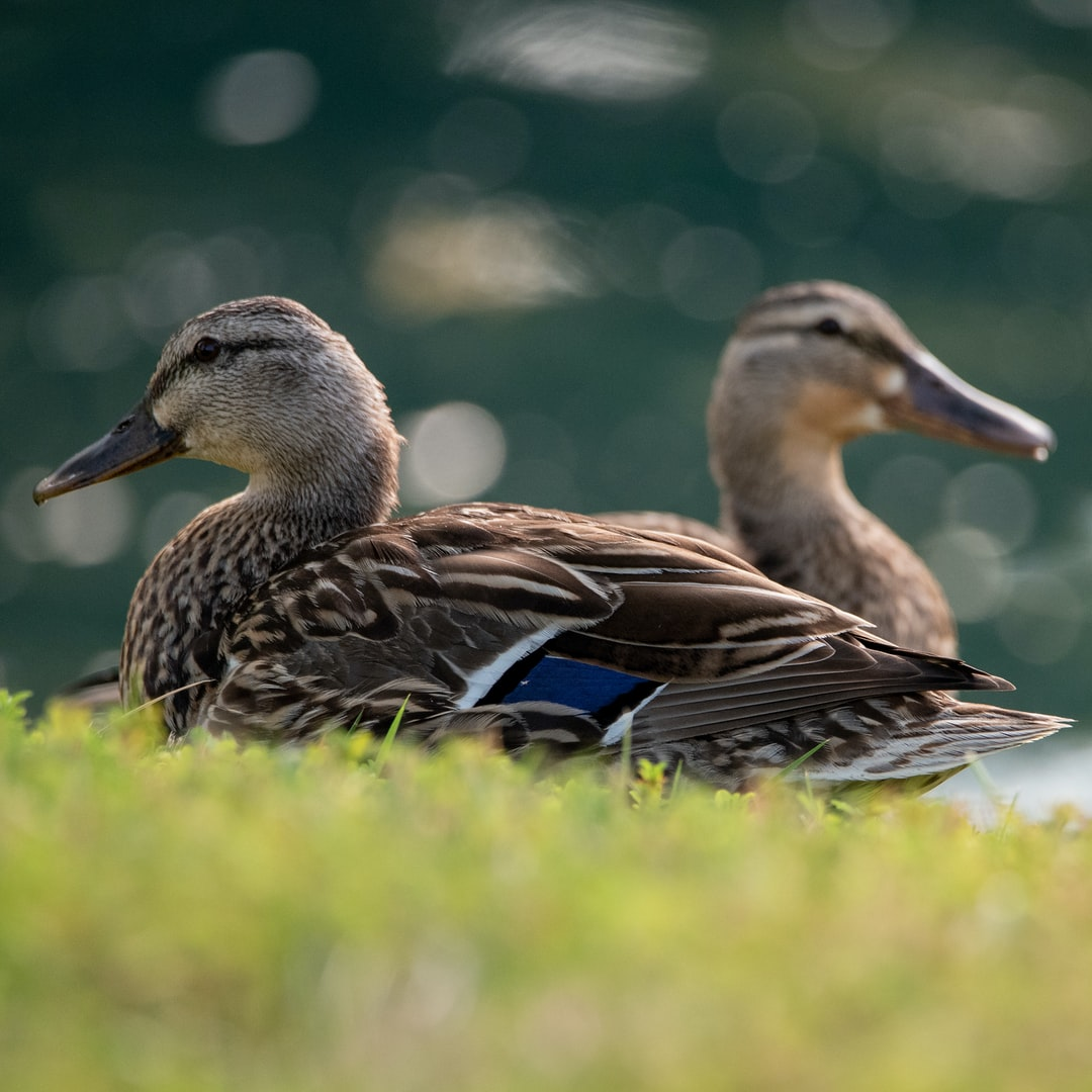Mallard ducks sitting on grass by lake.