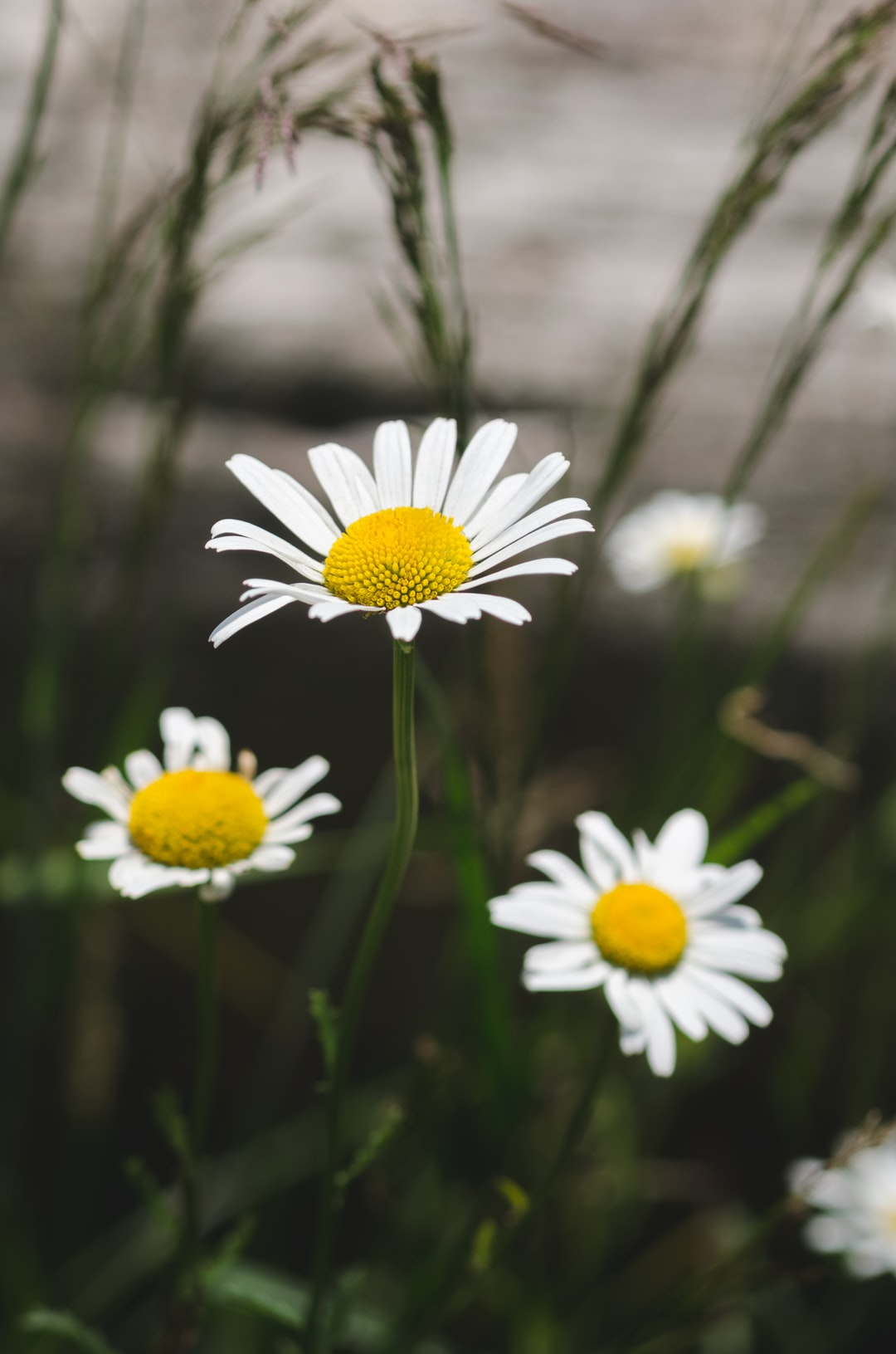 Close-up of daisy flowers (Bellas perennis)
