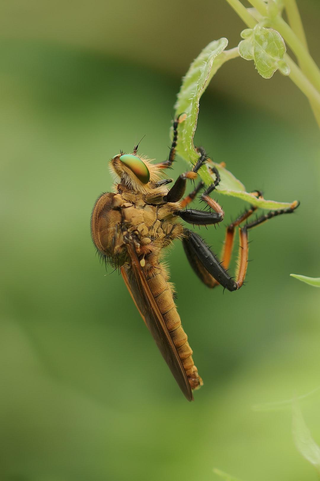 Cophinopoda chinensis アオメアブ