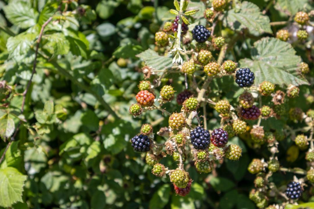 Blackberries in July