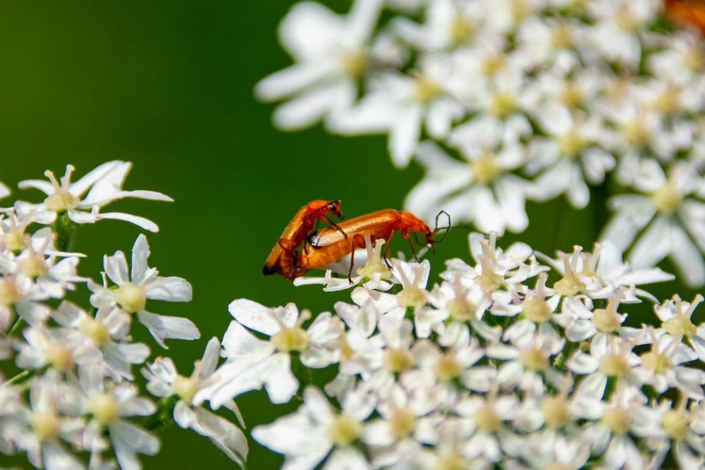 brown and black bug on white flower