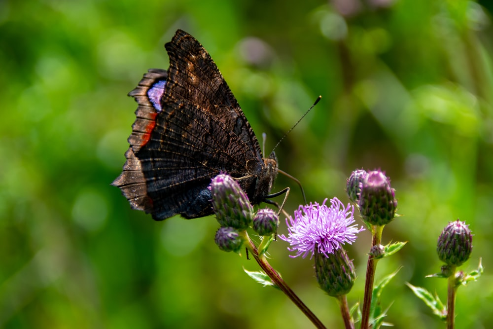 black and orange butterfly perched on purple flower in close up photography during daytime