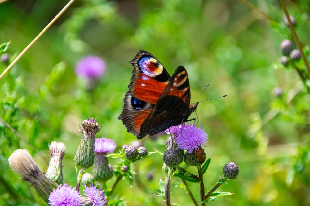 brown black and white butterfly perched on purple flower