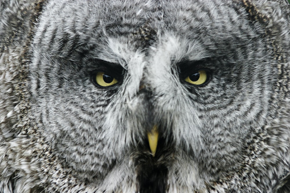 gray and white owl with yellow eyes