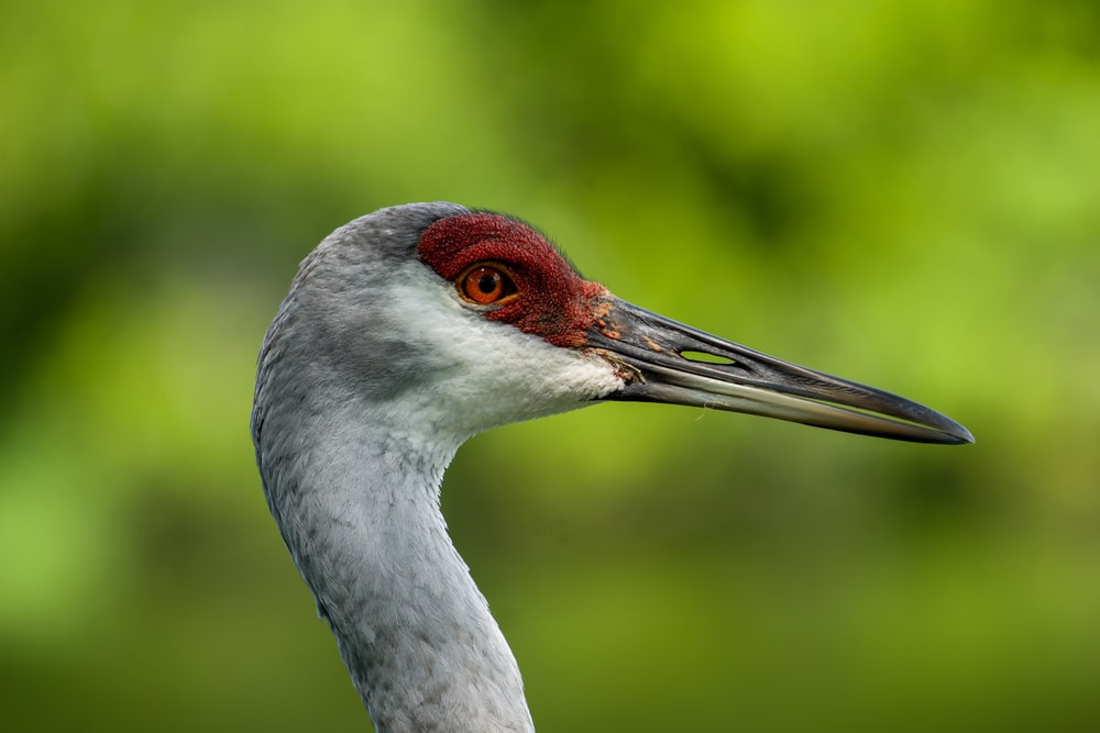 grey crowned crane in close up photography