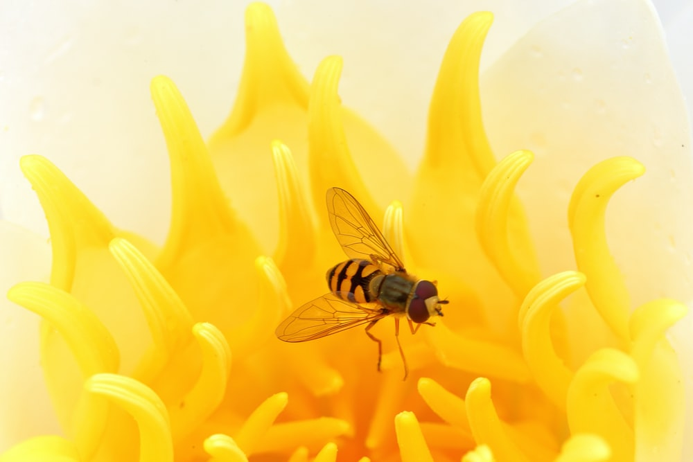 black and yellow fly perched on yellow flower