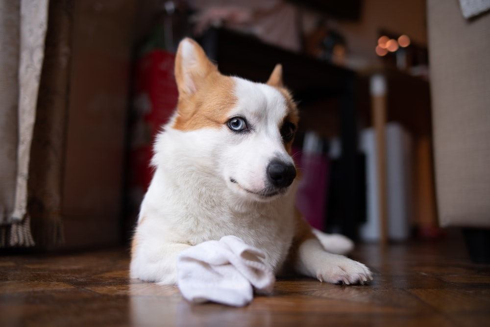 white and brown short coated puppy on brown wooden floor