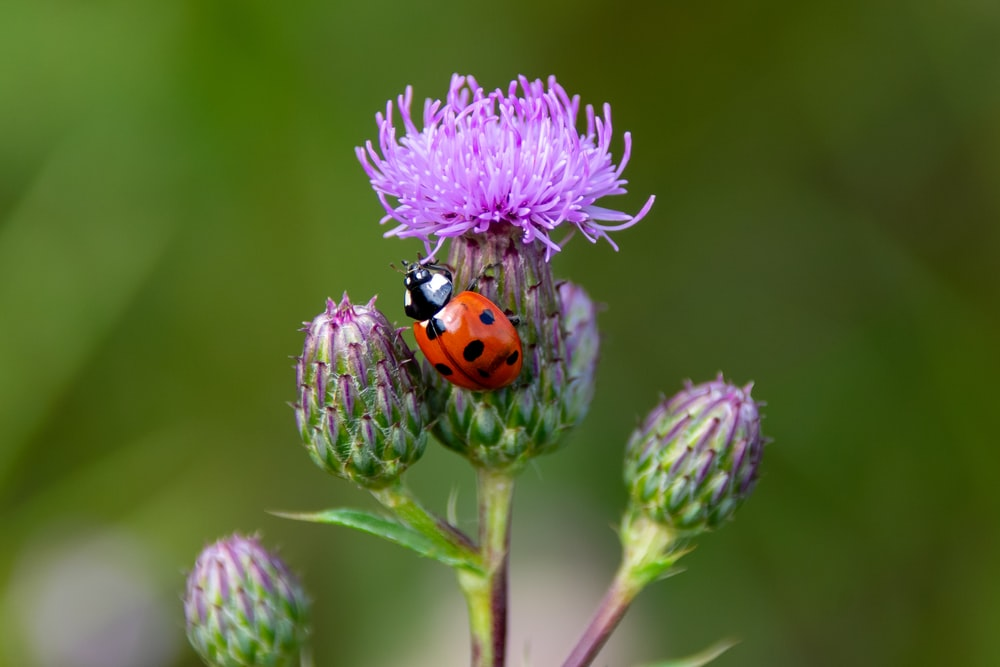 red ladybug perched on purple flower in close up photography during daytime