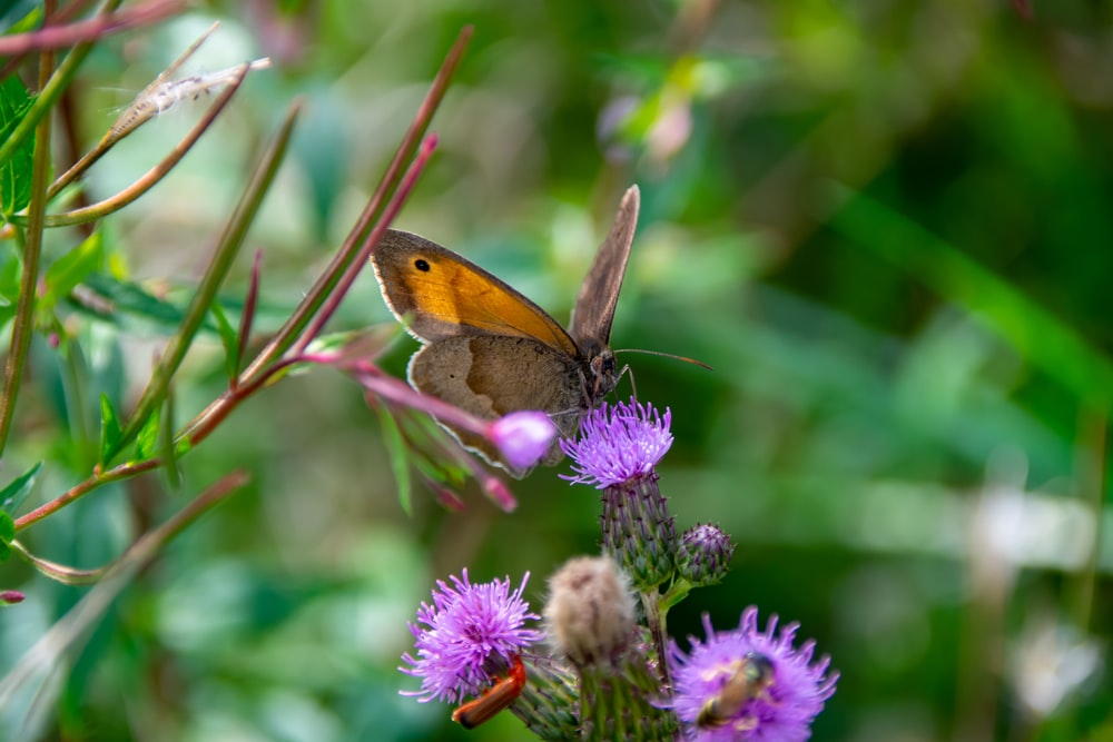 brown butterfly perched on purple flower in close up photography during daytime