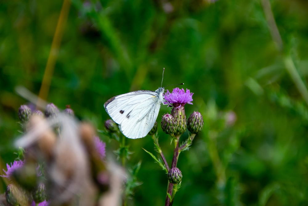 white butterfly perched on purple flower in close up photography during daytime