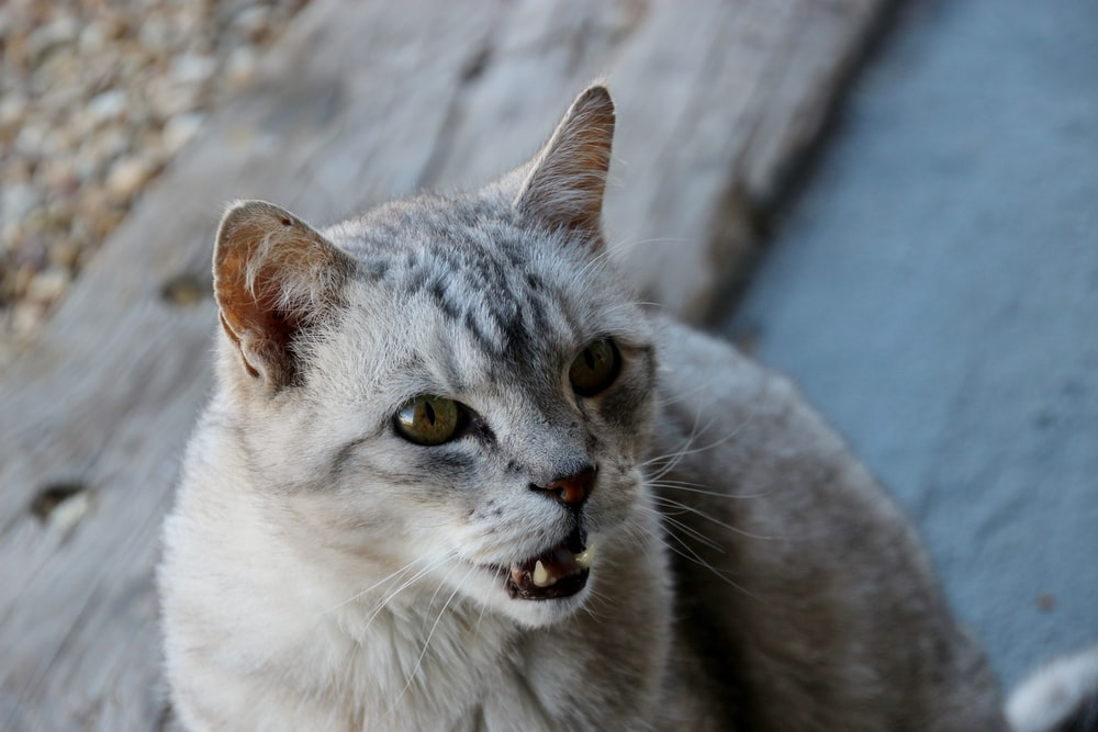 white and gray cat on brown wooden surface