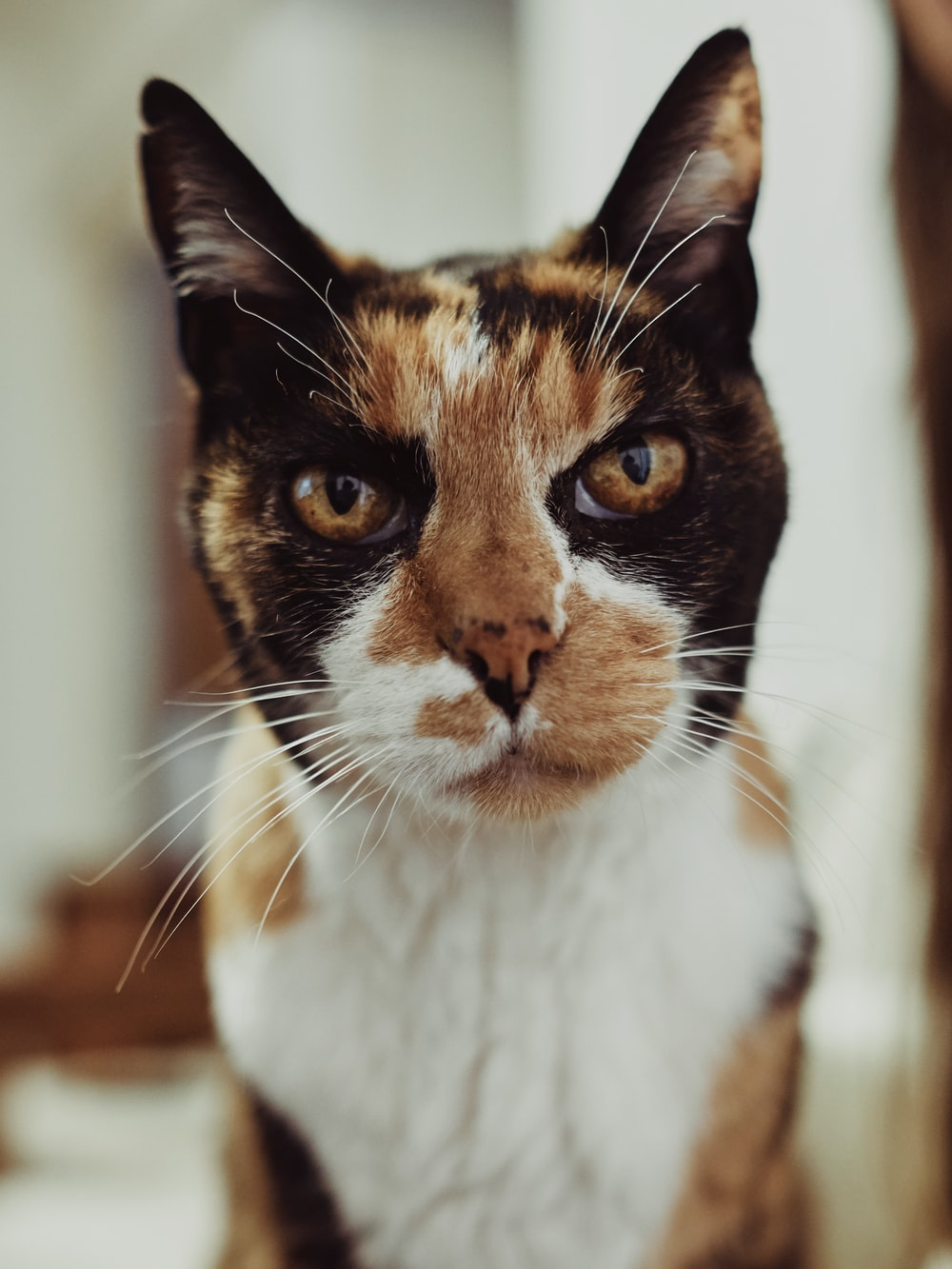 calico cat on brown wooden table